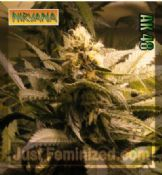 Nirvana AK 48 buy feminised marijuana seeds online